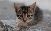Kitten [14] wallpaper 2560x1600 jpg