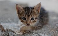 Kitten [14] wallpaper 2560x1600 jpg