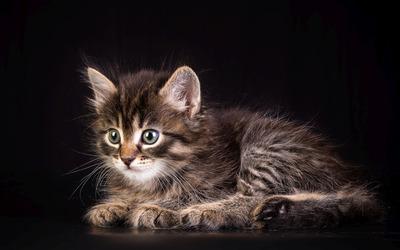 Kitten [19] wallpaper