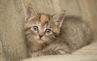 Kitten [10] wallpaper 1920x1200 jpg