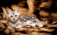 Kitten [13] wallpaper 2560x1600 jpg