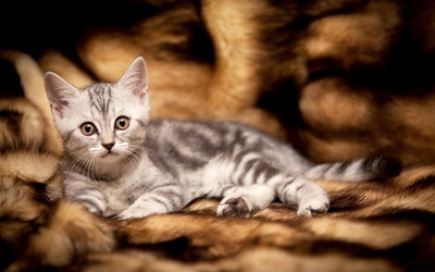 Kitten [13] wallpaper
