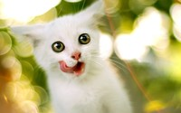 Kitten [3] wallpaper 1920x1200 jpg