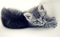 Kitten [7] wallpaper 2560x1600 jpg