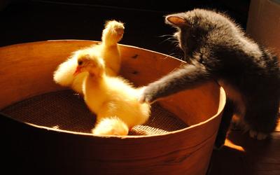 Kitten and ducklings wallpaper