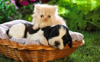 Kitten and puppy wallpaper 1920x1200 jpg