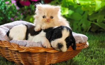Kitten and puppy wallpaper