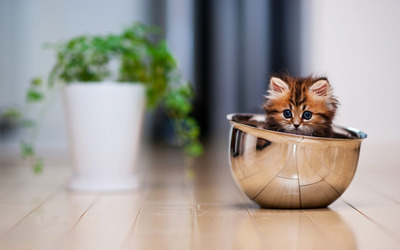 Kitten in a bowl wallpaper