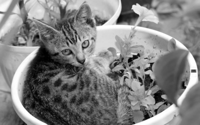 Kitten in a flowerpot wallpaper