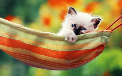 Kitten in a hammock wallpaper
