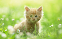 Kitten in the grass wallpaper 1920x1200 jpg