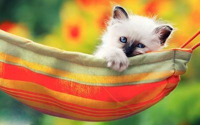 Kitten in the hammock wallpaper