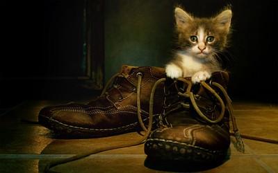 Kitten in the shoe wallpaper