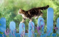 Kitten on Fence wallpaper 1920x1200 jpg