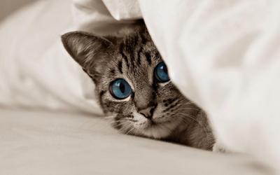 Kitten with beautiful blue eyes hiding under the covers wallpaper