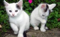 Kittens [5] wallpaper 1920x1200 jpg