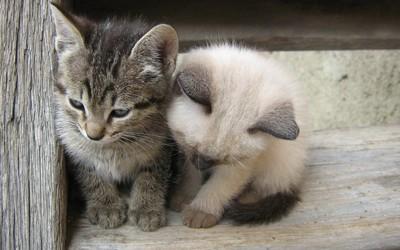 Kittens [4] wallpaper