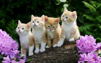 Kittens wallpaper 1920x1200 jpg