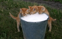 Kittens drinking milk wallpaper 1920x1080 jpg
