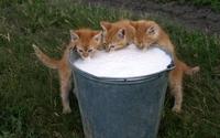 Kittens drinking milk wallpaper 1920x1080 jpg