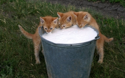 Kittens drinking milk wallpaper