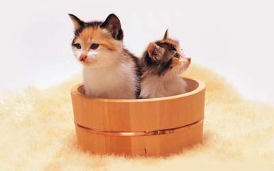 Kittens in a bucket wallpaper
