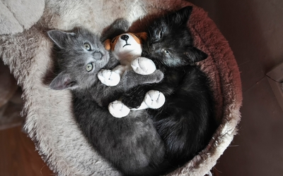 Kittens playing with a stuffed puppy wallpaper