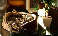 Kittens sleeping in a basket wallpaper 1920x1200 jpg