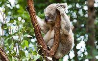 Koala [2] wallpaper 1920x1080 jpg