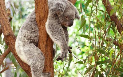 Koala [3] Wallpaper