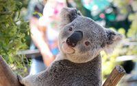 Koala wallpaper 1920x1080 jpg