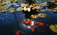 Koi fish in the pond wallpaper 1920x1080 jpg