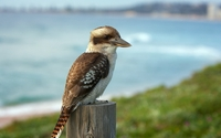 Kookaburra wallpaper 1920x1080 jpg