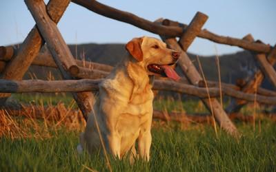 Labrador [2] wallpaper