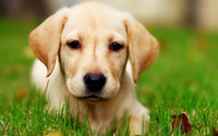 Labrador puppy [2] wallpaper 1920x1200 jpg