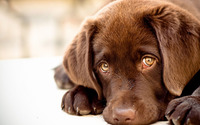 Labrador puppy wallpaper 1920x1200 jpg