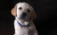 Labrador puppy [3] wallpaper 1920x1200 jpg