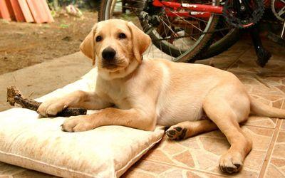 Labrador puppy [4] wallpaper