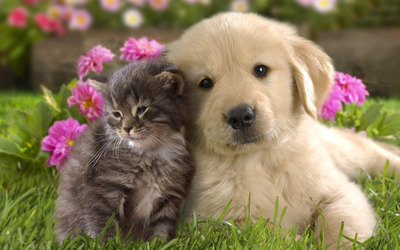 Labrador puppy and kitten wallpaper