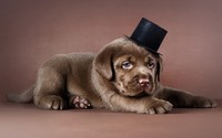 Labrador puppy with a tophat wallpaper 2560x1600 jpg