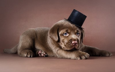Labrador puppy with a tophat wallpaper