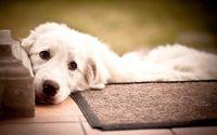 Labrador Retriever wallpaper 1920x1200 jpg