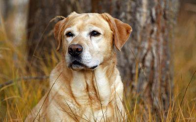 Labrador Retriever [3] wallpaper