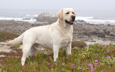 Labrador Retriever on a rocky ocean side wallpaper