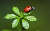 Ladybug [5] wallpaper 1920x1200 jpg