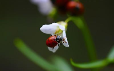 Ladybug [7] wallpaper