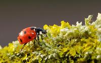 Ladybug [9] wallpaper 1920x1200 jpg