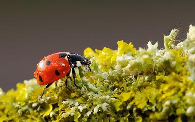 Ladybug [9] wallpaper