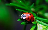 Ladybug [2] wallpaper 1920x1200 jpg