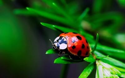 Ladybug [2] wallpaper